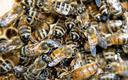 Sawicki: pszczoły w Polsce mają się dobrze