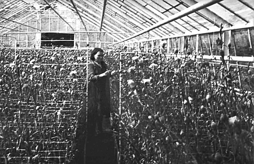 Praca w pierwszej szklarni w latach 60.