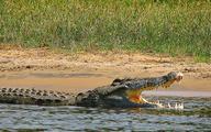 Europejczycy rozsmakowali się w krokodylach