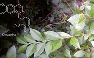 Oleaceina z oliwy extra virgin może zapobiec chorobom serca i naczyń