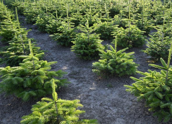 Wolt chce dostarczać świąteczne choinki