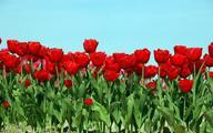 Holenderskie tulipany wdzięczności