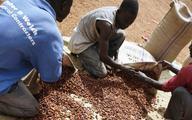 Ghana podnosi minimalną cenę ziarna kakaowego