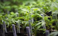 Marihuana już oficjalnie legalna w Urugwaju