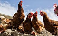Zagęszczenie wywołuje agresję u kur, prosiąt i ludzi