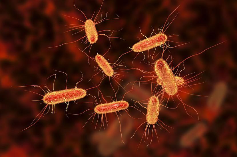 Bakteria Escherichia coli