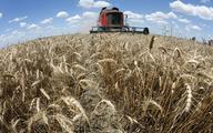 Australia: drugie największe zbiory pszenicy w historii