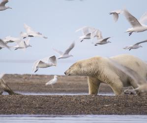Zmiany klimatyczne zakłócają zwyczaje niedźwiedzi polarnych