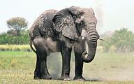Zimbabwe ratuje słonie, sprzedając je do Chin