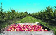 Burzliwe dwa lata polskich jabłek (#jedzjabłka)
