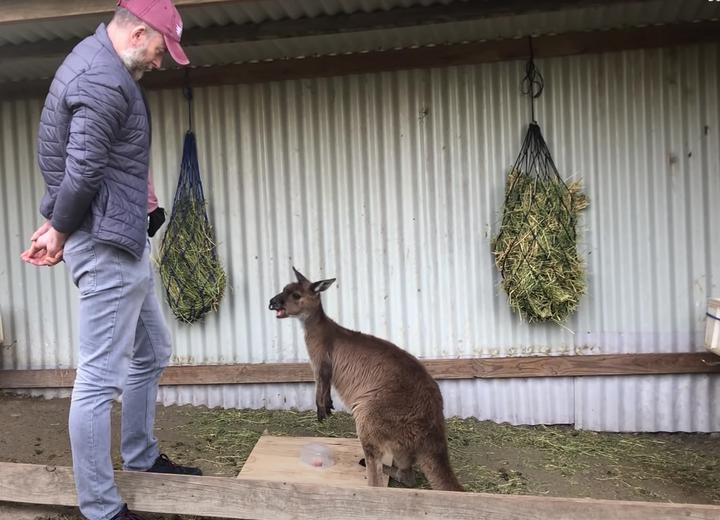 Kangury mogą porozumiewać się zludźmi