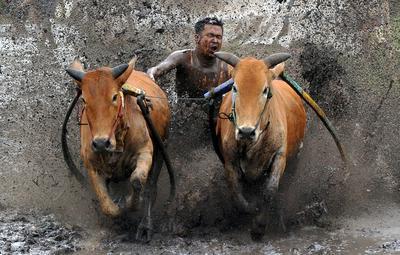 Trening przed Pacu Jawi, tradycyjnym wyścigiem byków w Tanah Datar na Zachodniej Sumatrze w Indonezji. Dżokej stoi na drewnianym pługu luźno przywiązanym do pary byków i trzyma je za ogony. Do pokonania mają 60-250 metrów błotnistej ścieżki na polu ryżowym. Zdjęcie zrobił Iggoy el Fitra 13 marca 2021 r. Fot.: ANTARA FOTO / Reuters / Forum