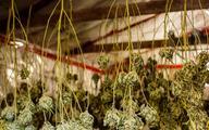 Rusza eksport medycznej marihuany z Ameryki Południowej do Europy