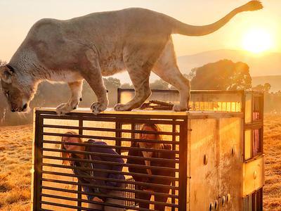 """Turyści w sanktuarium lwów GG w Harrismith w RPA mogą stanąć w klatce fotograficznej, by w bezpieczny i humanitarny sposób zbliżyć się do tych wspaniałych zwierząt. Suzanne Scott, fotograf i dyrektor firmy non-profit, powiedziała: """"Oferujemy to doświadczenie od prawie dwóch lat. Bezpieczeństwo naszych gości i dużych kotów jest priorytetem""""."""